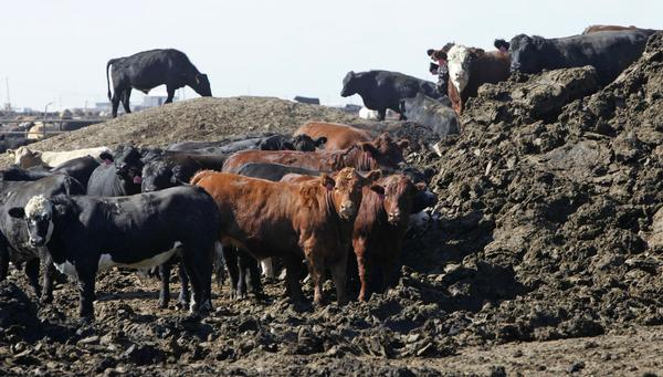 Cattle Manure